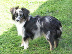 Reference Sires/Dams - Enloe Ranch Toy and Teacup Australian Shepherds